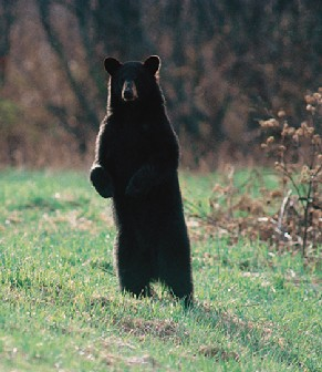 external image Black-bear2.jpg