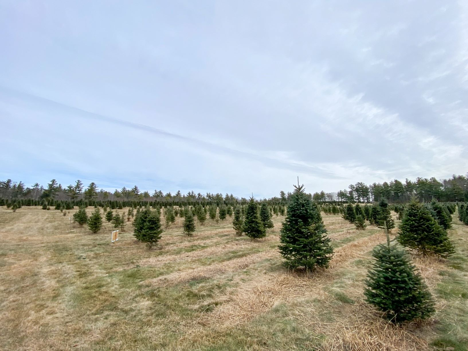 NH Woods & Wildlife: Live! – Home Grown Holidays: Growing Christmas Trees in New Hampshire